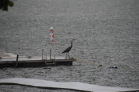 During the heavy rain, a Great Blue Heron landed on the swimming dock!